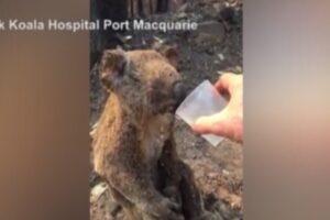 Koala ustionato e disidratato beve acqua dal bicchiere