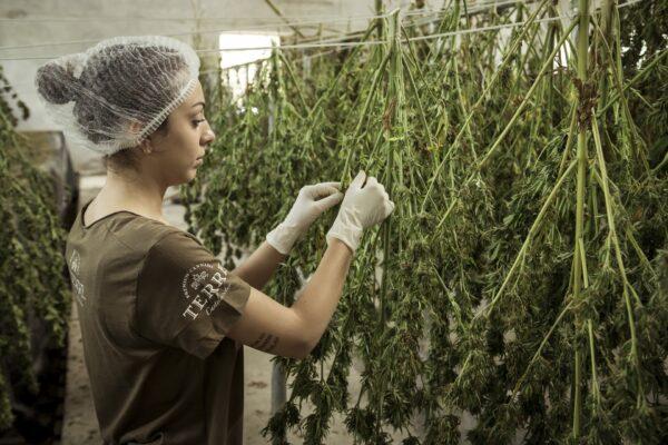 """L'Onu conferma: """"La cannabis ha valore terapeutico"""", ma in Italia tanti pazienti rimangono senza"""