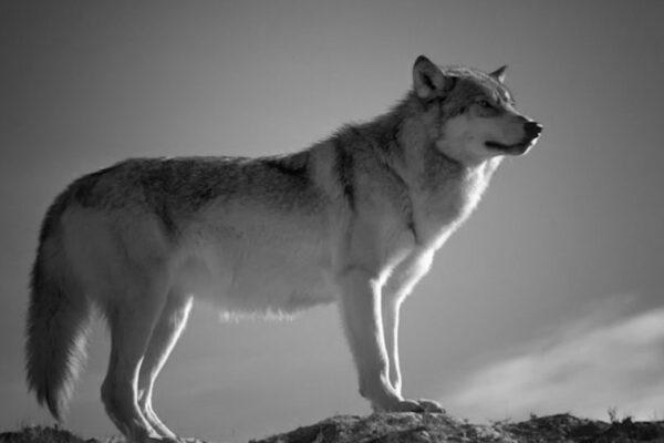 Ridateci i lupi e i leader, anche se famelici…