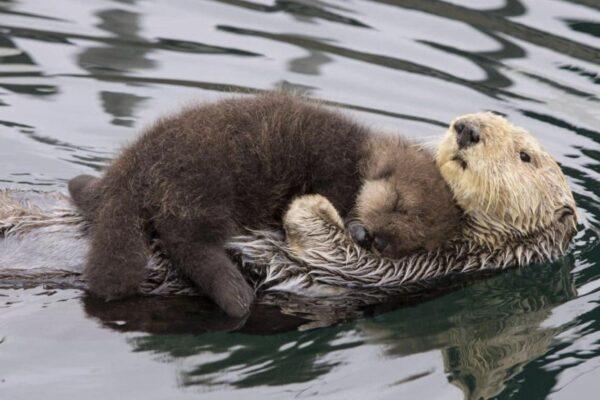 Mamma lontra protegge il figlio dal freddo, il video commuove il web