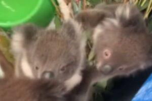Australia, baby koala orfani salvati dalle fiamme