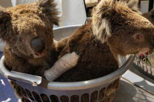Strage di Koala, dopo gli incendi ora muoiono annegati