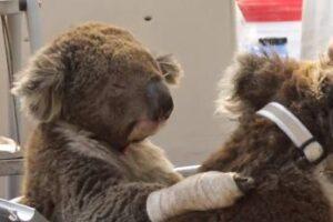 I koala attendono di essere trattati per ustioni e disidratazione