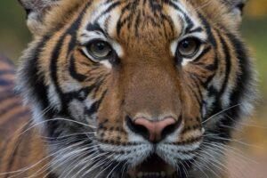 Tigre positiva al coronavirus: infettata da impiegato zoo