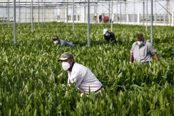 Aziende agricole in ginocchio, servono 30mila braccianti per salvare raccolto