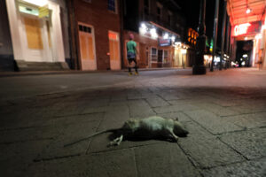 """A dead rodent lies on the sidewalk as a lone passerby walks up Bourbon Street, normally bustling with tourists and revelers, in New Orleans, Monday, March 23, 2020. Complicating New Orleans' fight of the new coronavirus spread, rats and mice are abandoning their hiding places in walls and rafters of shuttered businesses and venturing outside. On Bourbon Street workers in protective clothing placed poisonous bait in storm drains and set out traps. """"Unfortunately, what's happening is, many of these rodents are looking for an alternative food source,"""" Claudia Riegel, the city's pest control director, said Monday. (AP Photo/Gerald Herbert)"""