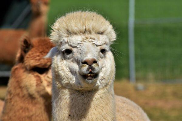 Coronavirus, la speranza arriva dagli anticorpi dei lama: così neutralizzano l'infezione