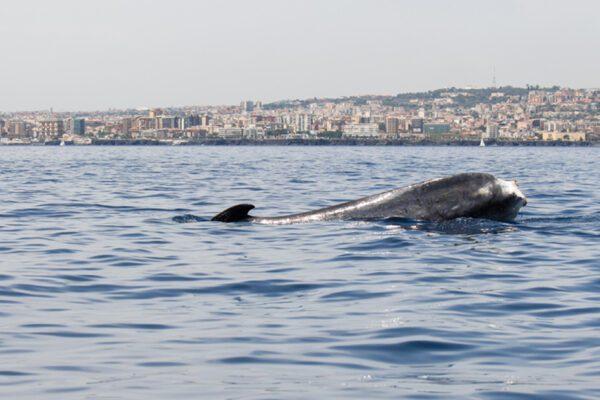 Storia di Codamozza, la balena mutilata che gira in lungo e largo il Mediterraneo