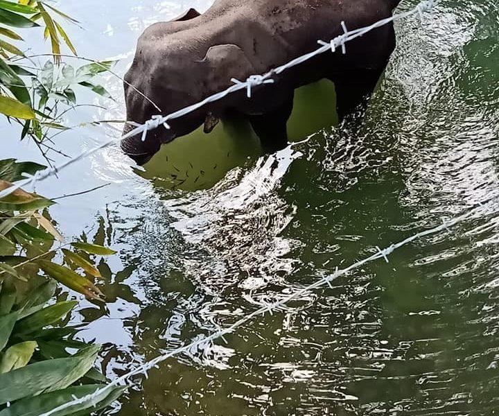 Elefantessa incinta muore per aver mangiato un ananas pieno di petardi: un arresto