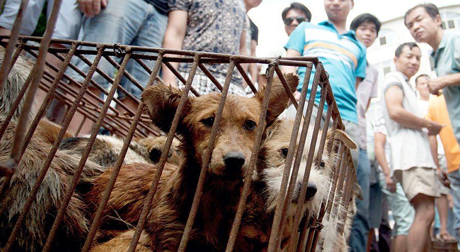 Il Coronavirus non ferma il festival della carne di cane di Yulin: torna la mattanza cinese