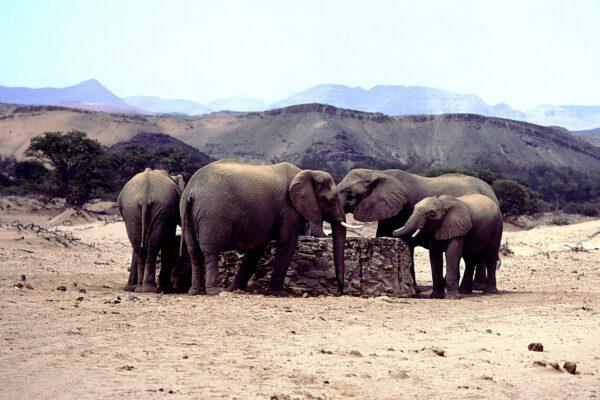 ©SILVIO FIORE/LAPRESSE STOCK NAMIBIA. DAMARALAND  ELEFANTI AL POZZO DELLA ACQUA NELLA SAVANA DESERTA