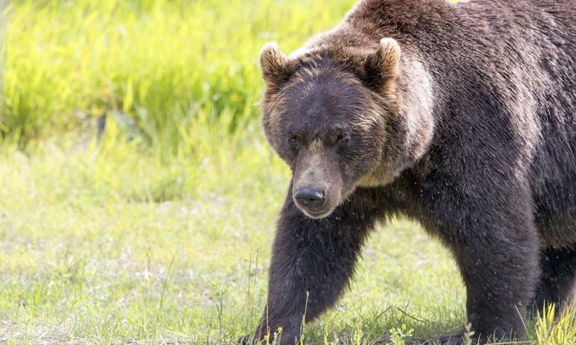 """Il fuggitivo Orso Papillon scappa di nuovo dal recinto di Casteller, gli ambientalisti: """"Deve rimanere libero"""""""