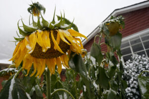 Sunflowers hang down as a storm packing high winds and snow sweeps through the intermountain West Tuesday, Sept. 8, 2020, in Georgetown, Colo. Forecasters predict that the storm will continue through Wednesday before moving out on to the plains. (AP Photo/David Zalubowski)