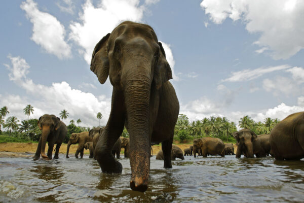 ©AP/Lapresse 28/07/2009  Pinnawala, Sri Lanka Estero Orfanotrofio di elefanti nella foto: elefanti   A two-and a half month old baby elephant stands close to its mother as they bathe at a river near an elephant orphanage in Pinnawala, Sri Lanka, Tuesday, July 28, 2009. The elephant orphanage aims to take care of orphaned or abandoned elephants in the jungles of Sri Lanka. The mahouts, or elephant keepers,  feed the elephants and take them twice a day to a nearby river for bathing and drinking water. (AP Photo/Gurinder Osan)