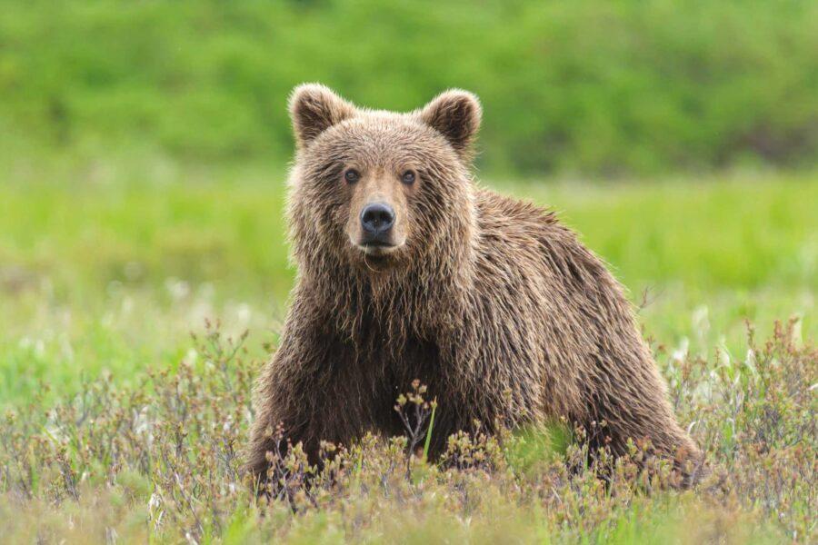 Catturato nuovamente l'orso Papillon, dopo due evasioni finisce la sua fuga