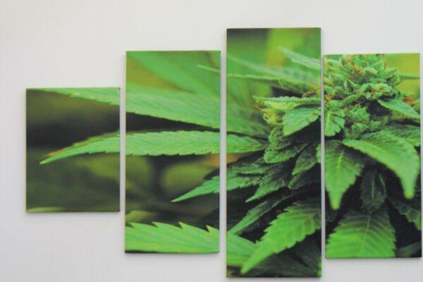 Cannabis light, Cannabidiol fa causa all'Agenzia dei monopoli. E Fratoianni bacchetta Speranza sul Cbd