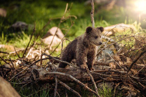 """Revocata ordinanza di cattura degli orsi, la battaglia continua: """"Abbiamo vinto"""""""