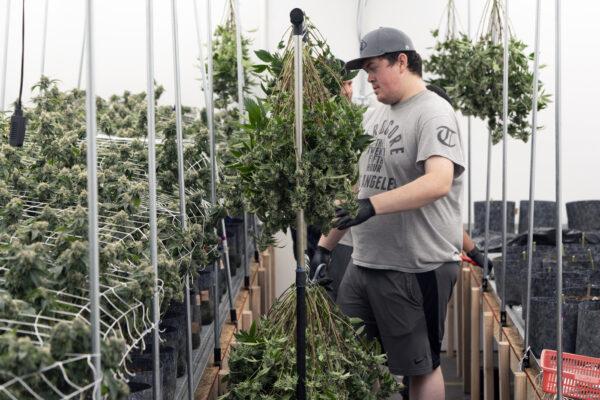 Elezioni USA, non solo presidenziali: in vari stati legalizzata la cannabis per uso creativo