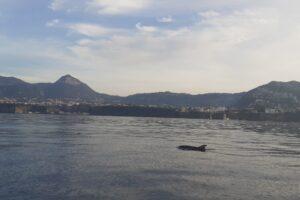 Spettacolo a Sorrento, delfini nuotano nel golfo con il Vesuvio sullo sfondo