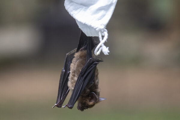 A researcher releases a bat after taking blood sample bat inside Sai Yok National Park in Kanchanaburi province, west of Bangkok, Thailand, Saturday, Aug. 1, 2020. Researchers in Thailand have been trekking though the countryside to catch bats in their caves in an effort to trace the murky origins of the coronavirus. (AP Photo/Sakchai Lalit)
