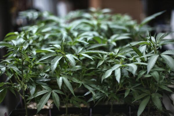 Walter De Benedetto rinviato a giudizio: coltivava cannabis terapeutica per curarsi