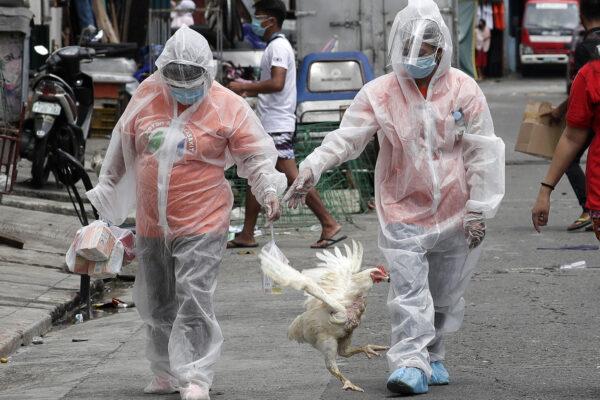 Salto di specie dell'influenza aviaria, 7 contagiati in Russia dal virus H5N8: allertata l'Oms