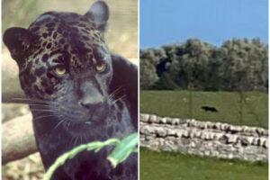 La pantera nera che terrorizza la Puglia: il mistero, le fake news, quello che c'è da spere