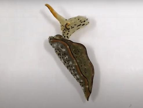 Le lumache di mare si autorigenerano, incredibile scoperta in Giappone