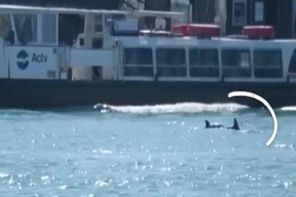 """Venezia, due delfini entrano e """"si divertono"""" in Laguna"""
