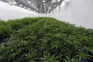 New York, la marijuana per uso ricreativo diventa legale