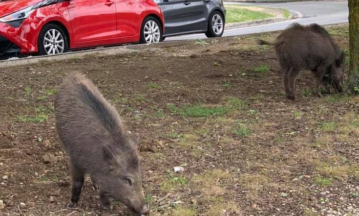 Parco Azzurro, nuova invasione di cinghiali: a spasso tra i residenti