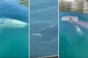 """Ecco Wally, la balena che vive nel mare di Napoli: """"È qui per il cambiamento climatico"""""""