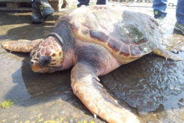 """A Punta Campanella nasce il Centro soccorso per le tartarughe marine: """"Educazione ambientale e turismo green"""""""
