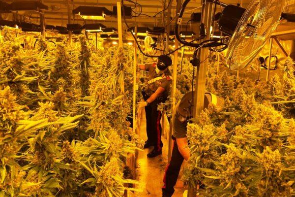 Una piantagione di cannabis nascosta nel capannone