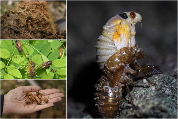 Miliardi di cicale pronte a riemergere, l'invasione degli insetti riemergono da sottoterra