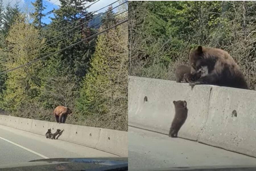 Mamma orso aiuta piccoli a scavalcare barriera in cemento