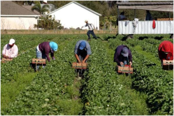 Drogati per lavorare nei campi, a Latina uomini usati come cavalli