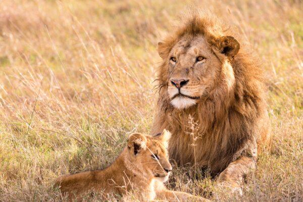 """Il leone è a rischio estinzione: """"Popolazione crollata del 90%"""""""