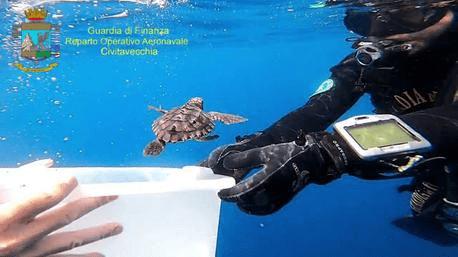 """Dodici tartarughe marine della specie """"Caretta Caretta"""" sono state rimesse in mare aperto, al largo delle Isole di Ventotene e Santo Stefano (Latina), 28 giugno 2021"""