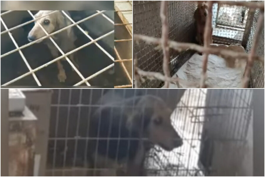 Nutriti con cibo scadente e rinchiusi in gabbie anguste: sequestrato allevamento lager con oltre 100 cani da caccia