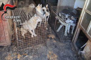 Allevamento lager di cani, 110 esemplari di razza tratti in salvo