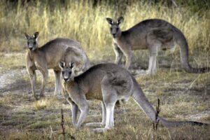 La strage dei canguri, 14 esemplari pestati a morte: arrestati due adolescenti